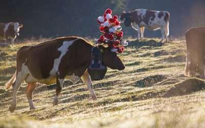 Désalpe: Welcoming the Cows Home in Switzerland.