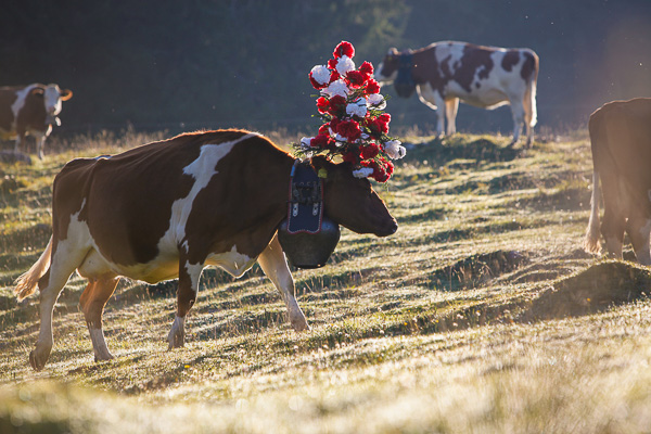 Cow in morning sun. © Alexander Belokurov, St Cergue - Switzerland, 2014.
