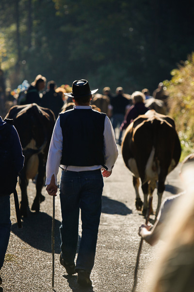 Man in a cowboy hat - the herds move at a fast pace downhill. © Alexander Belokurov, St Cergue - Switzerland, 2014.