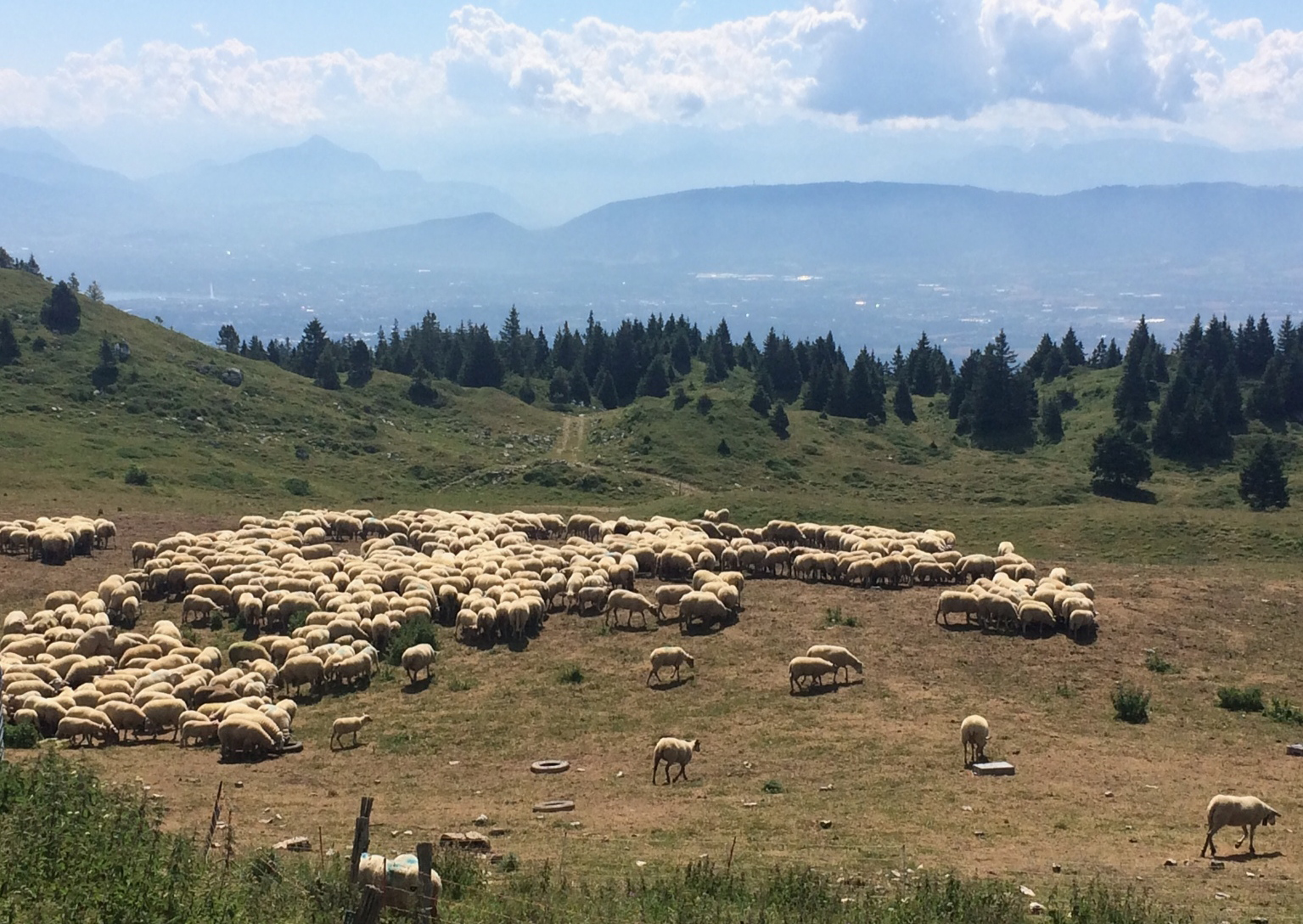 Photo-sheep-M.-Imberti-July-18